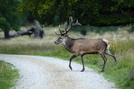 elaphus: Bellow majestic powerful adult red deer crossing the road, Dyrehave, Denmark