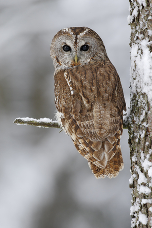 during: Brown bird Tawny owl sitting on tree trunk with snow during cold winter