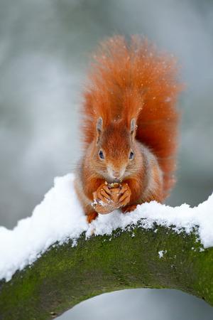 かわいい赤オレンジ色のリスは雪で冬のシーンでナットを食べる