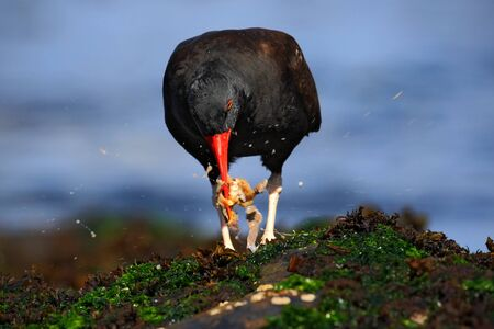 scilly: Blakish oystercatcher, Haematopus ater, with oyster in the bill, black water bird with red bill, feeding sea food, in the sea, Falkland Islands Stock Photo