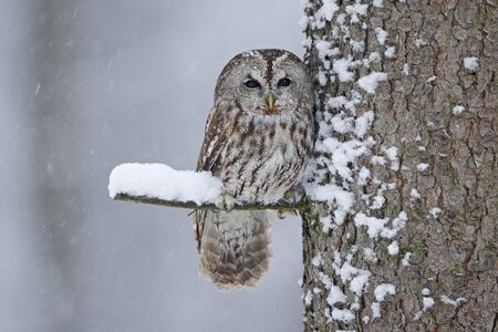 tawny owl: Tawny Owl snow covered in snowfall during winter, tree trunk with snow Stock Photo