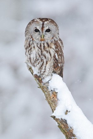 tawny owl: Tawny Owl, snow covered bird in snowfall during winter, nature habitat, Norway