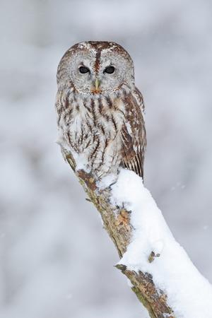 Waldkauz, schneebedeckte Vogel in Schneefall im Winter, Natur Lebensraum, Norwegen
