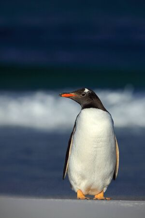 pygoscelis papua: Gentoo penguin, Pygoscelis papua , standing on the white beach with dark blue sea wave, Falkland Islands