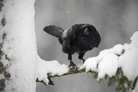 corax: Black raven sitting on the snow tree during winter