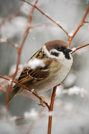 during: Songbird Tree Sparrow, Passer montanus, sitting on branch with snow, during winter