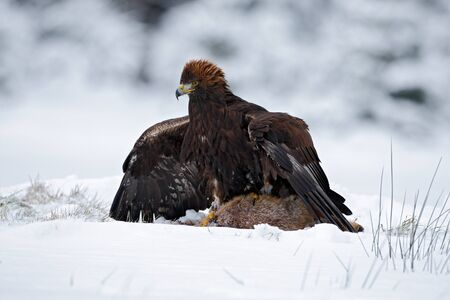 Bird of prey Golden Eagle with kill hare in winter with snow