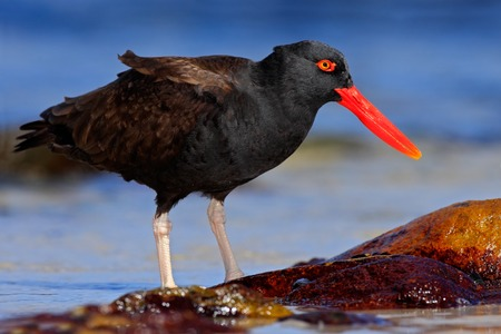 scilly: Blakish oystercatcher, Haematopus ater, black water bird with red bill, in the sea, Falkland Islands