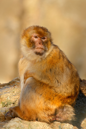 sylvanus: Barbary macaque, Macaca sylvanus, sitting on the rock, Gibraltar, Spain