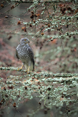 Birds of prey Goshawk sitting on the branch in the fallen larch forest during autumn