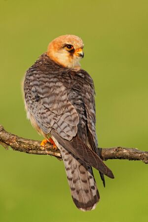 falconidae: Red-footed Falcon, Falco vespertinus, bird sitting on branch with clear green background, Romania
