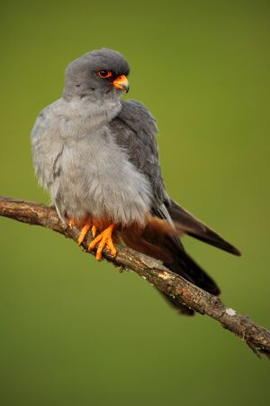 falconidae: Bird Red-footed Falcon, Falco vespertinus, sitting on branch with clear green background, Hungary Stock Photo