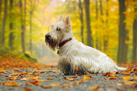 White wheaten scottish terrier, sitting on gravel road with orange leaves during autumn, yellow tree forest in background Stock Photo