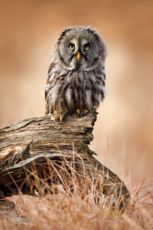 Great grey owl, Strix nebulosa, sitting on old tree trunk with grass, portrait with yellow eyes Фото со стока