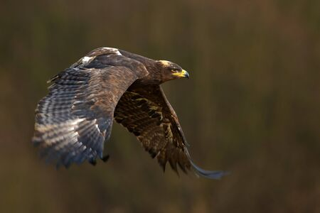 a large bird of prey: Flying dark brawn bird of prey Steppe Eagle Aquila nipalensis with large wingspan Stock Photo