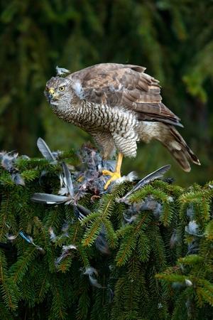 Bird of prey Goshawk kill European Jay on the green spurce tree Stock Photo