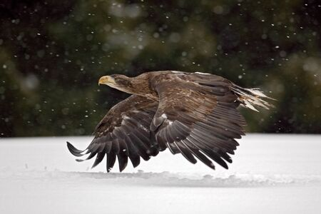 whitetailed: Bird of prey White-tailed Eagle flying in the snow storm with snow flake during winter