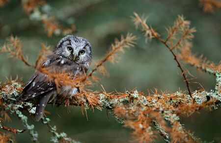 boreal: Small Boreal owl in the autumn larch forest in central Europe