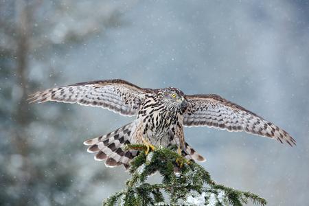 goshawk: Bird of prey Northern Goshawk landing on spruce tree during winter with snow