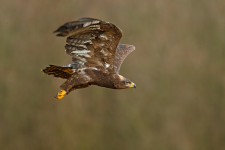a large bird of prey: Flying dark brawn bird of prey Steppe Eagle, Aquila nipalensis, with large wingspan, clear background, Czech republic, Central Europe