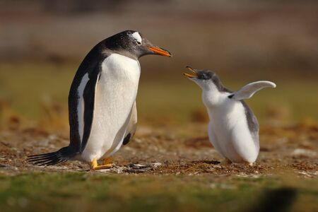 gentoo: Young gentoo penguin beging food beside adult gentoo penguin, Falkland Islands