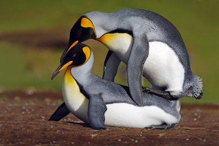 animal mating: Mating king penguins with green background, Falkland Islands Stock Photo