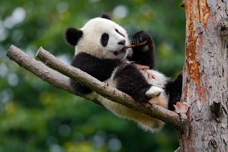 Lying cute young Giant Panda feeding feeding bark of tree 스톡 콘텐츠
