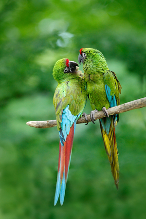 wooing: Pair of birds, green parrot Military Macaw, Ara militaris, Costa Rica