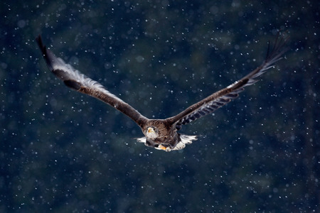 whitetailed: Bird of prey White-tailed Eagle, Haliaeetus albicilla, flying with snow flake, dark forest in background