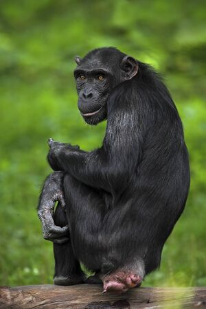 poke: Black mankey Chimpanzee, Pan troglodytes, sitting on the trnuk with poke out ass