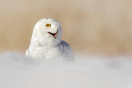 Snowy owl, Nyctea scandiaca, white rare bird with yellow eyes sitting on the snow during cold winter, with open bill, Manitoba, Canada