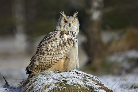 hillock: Big Eastern Siberian Eagle Owl, Bubo bubo sibiricus, sitting on hillock with snow in the forest Stock Photo