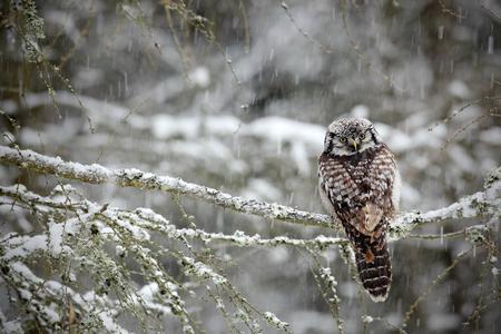 호크 올빼미는 차가운 눈 겨울의 낙엽송에 앉아