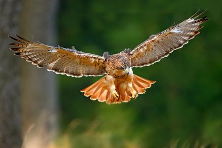 halcón: ave de presa, halcón de cola roja, Buteo jamaicensis volar, aterrizar en el bosque Foto de archivo