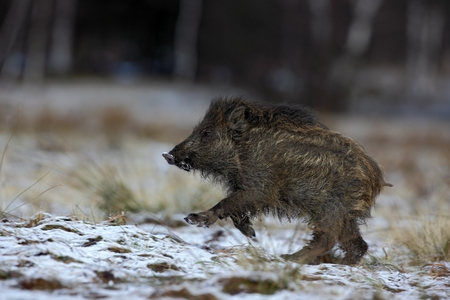 sus: Running young Wild boar, Sus scrofa, in winter forest with snow Stock Photo