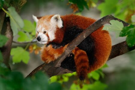lying on leaves: Beautiful Red panda lying on the tree with green leaves, in the nature habitat