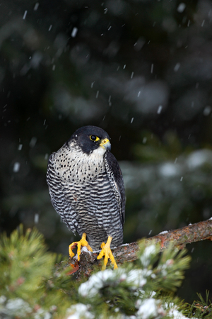 peregrine: Bird of prey Peregrine Falcon with fly snow sitting on the tree with dark green forest in background