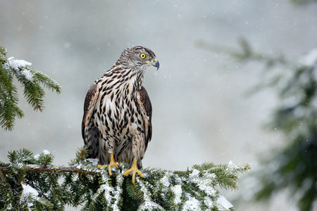 northern goshawk: Bird of prey Northern Goshawk sitting oh the spruce branch with snow flake during winter Stock Photo