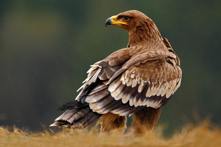 Steppe Eagle, Aquila nipalensis, sitting in the grass on meadow, forest in background, Norway 스톡 콘텐츠