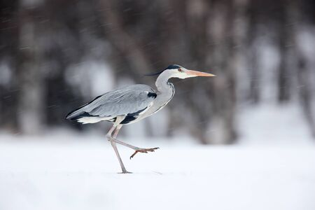 birdwatching: Grey Heron in white snow wind during cold winter Stock Photo