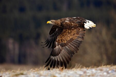 white tailed eagle: Flying big birds of prey White-tailed Eagle above meadow with open wings