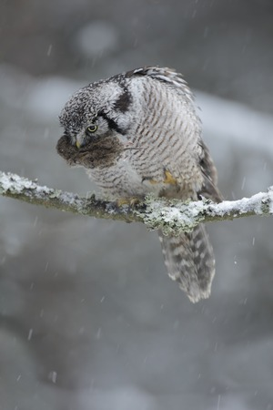 bird eating raptors: Hawk Owl with catch, brown mouse during winter with snow flake, Finland
