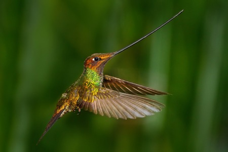 longest: Sword-billed hummingbird, Ensifera ensifera, it is noted as the only species of bird to have a bill longer than the rest of its body, bird with longest bill, in the nature forest habitat, Ecuador