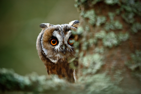 Hidden portrait Long-eared Owl with big orange eyes behind larch tree trunk