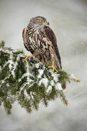 goshawk: Goshawk sitting oh the spruce branch with snow flake during winter