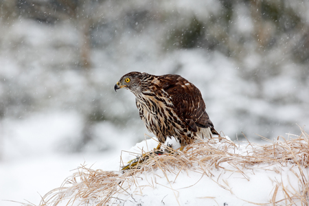 Bird of prey Goshawk kill bird and sitting on the snow meadow with open wings, blurred snowy forest in background