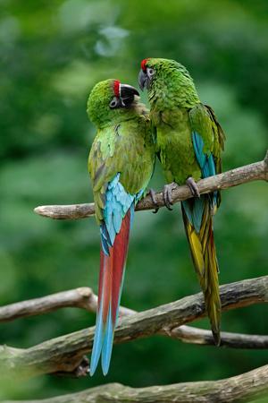 wooing: Pair of birds, green parrot Military Macaw, Ara militaris, Mexico