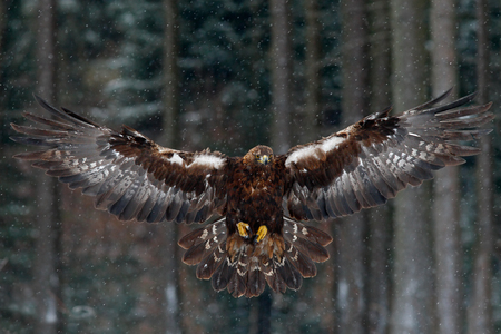 wingspan: Flying birds of prey golden eagle with large wingspan, photo with snow flake during winter, dark forest in background