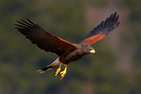 Harris Hawk, Parabuteo unicinctus, bird of prey in flight, in habitat