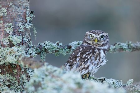 athene: Little Owl, Athene noctua, in the autumn larch forest in central Europe, portrait of small bird in the nature habitat, Czech Republic